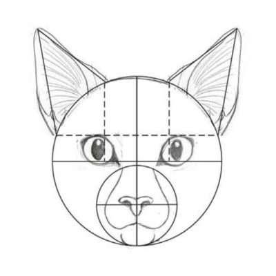 Die Ohren fangen ungefähr in Höhe des oberen Augenrands an und gehen etwas über die Mitte des Auges. Je nach Alter und Charakter einer Katze können die Ohren groß oder klein sein.