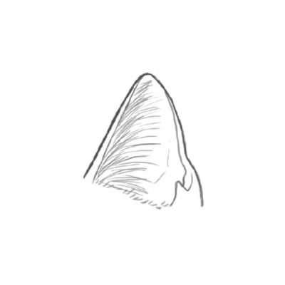 Zeichne nun die Haare an der Innenseite wie kleine Bögen bis ungefähr zur Hälfte des Ohrs. Die Haare wachsen immer von innen nach außen. Unten, am Kopfansatz, skizzierst du mit kurzen Haaren das Fell.