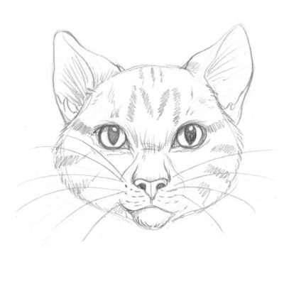 Der junge Krieger ist schlank und hat ein kurzes Fell (dadurch entspricht sein Kopf sehr der Grundform). Weil er noch so jung ist, ist auch seine Schnauze noch nicht so ausgeprägt wie bei älteren Katern. Hier kannst du schön sehen, wie eine getigerte Katze gezeichnet wird: Schraffiere das Muster ganz zart in das Fell, verstärke die dunkleren Partien. Beachte das »M« auf der Katzenstirn. Das ist typisch für alle getigerten Katzen.