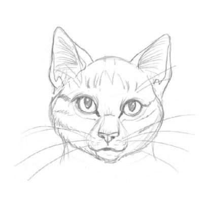 Obwohl Kätzinnen genauso gute Krieger sind wie Kater, sind sie doch eleganter und feingliedriger. Ihre Köpfe unterscheiden sich nicht allzu sehr von der einfachen Kopfform, doch sie haben große, mandelförmige Augen und eine zarte Schnauze.